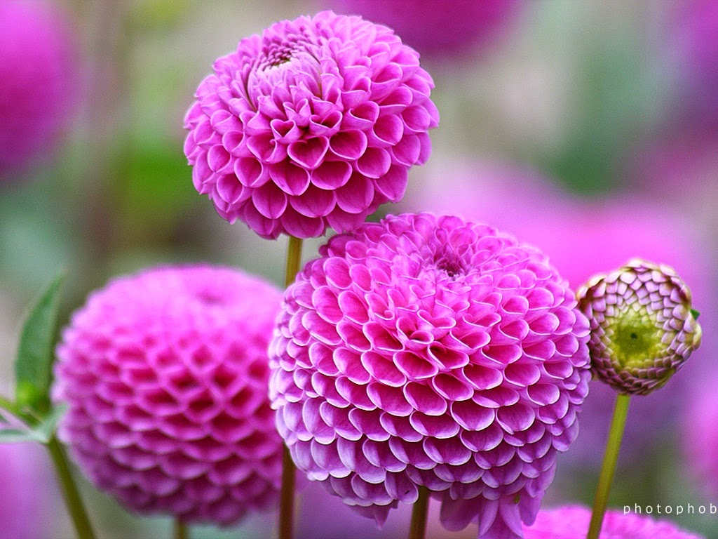 5 most wonderful flower in world steemit beautiful flowers hd wallpapers 6g izmirmasajfo