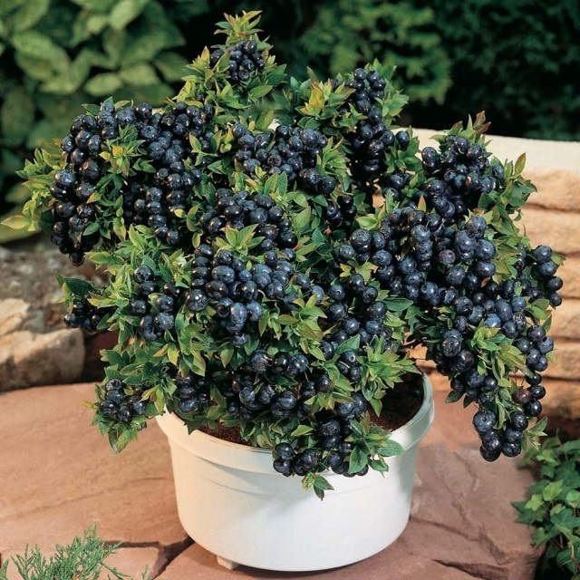 Blueberry Plant Container Jpg