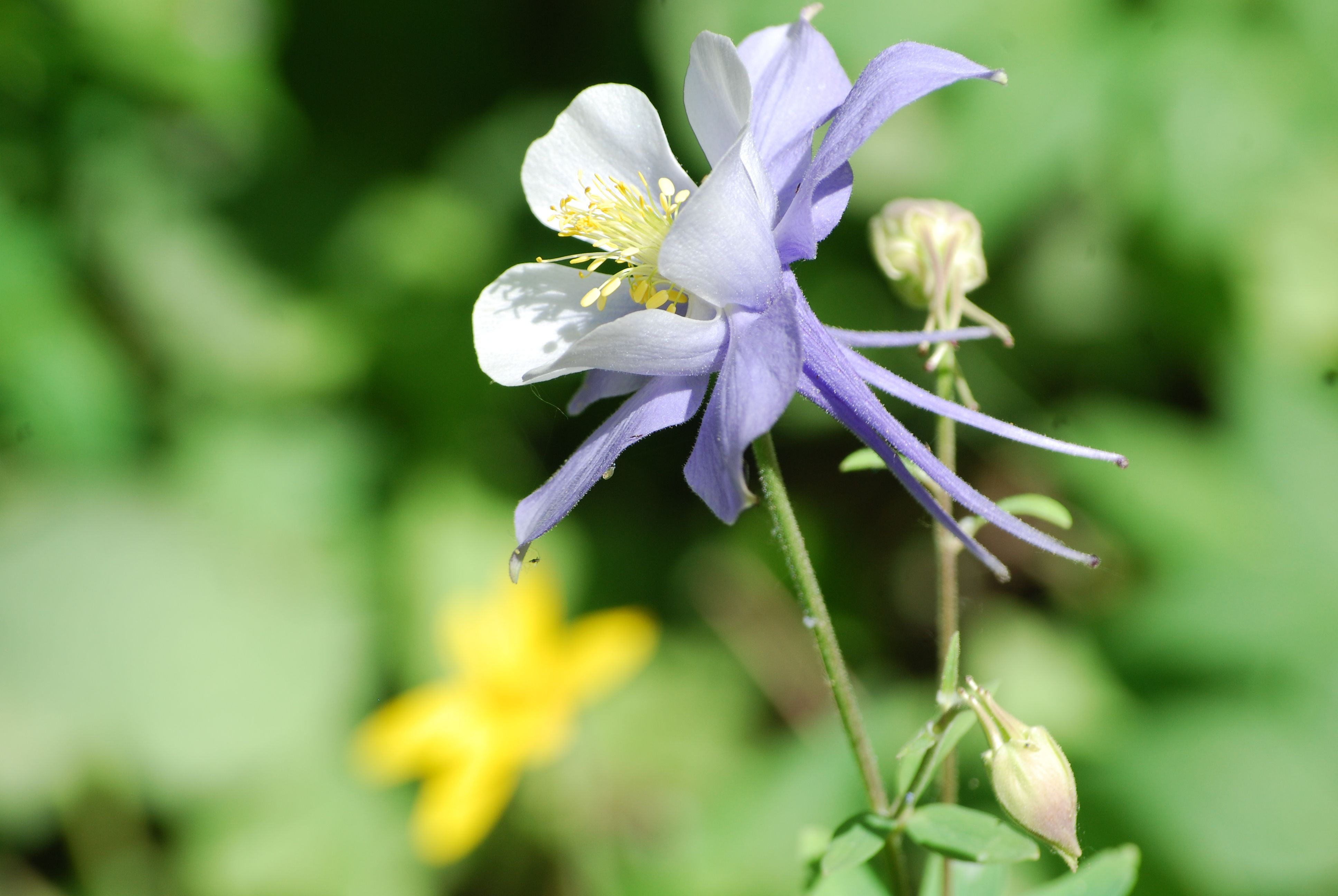 Columbine flowers in colorado steemit steemit rebele93 05g izmirmasajfo