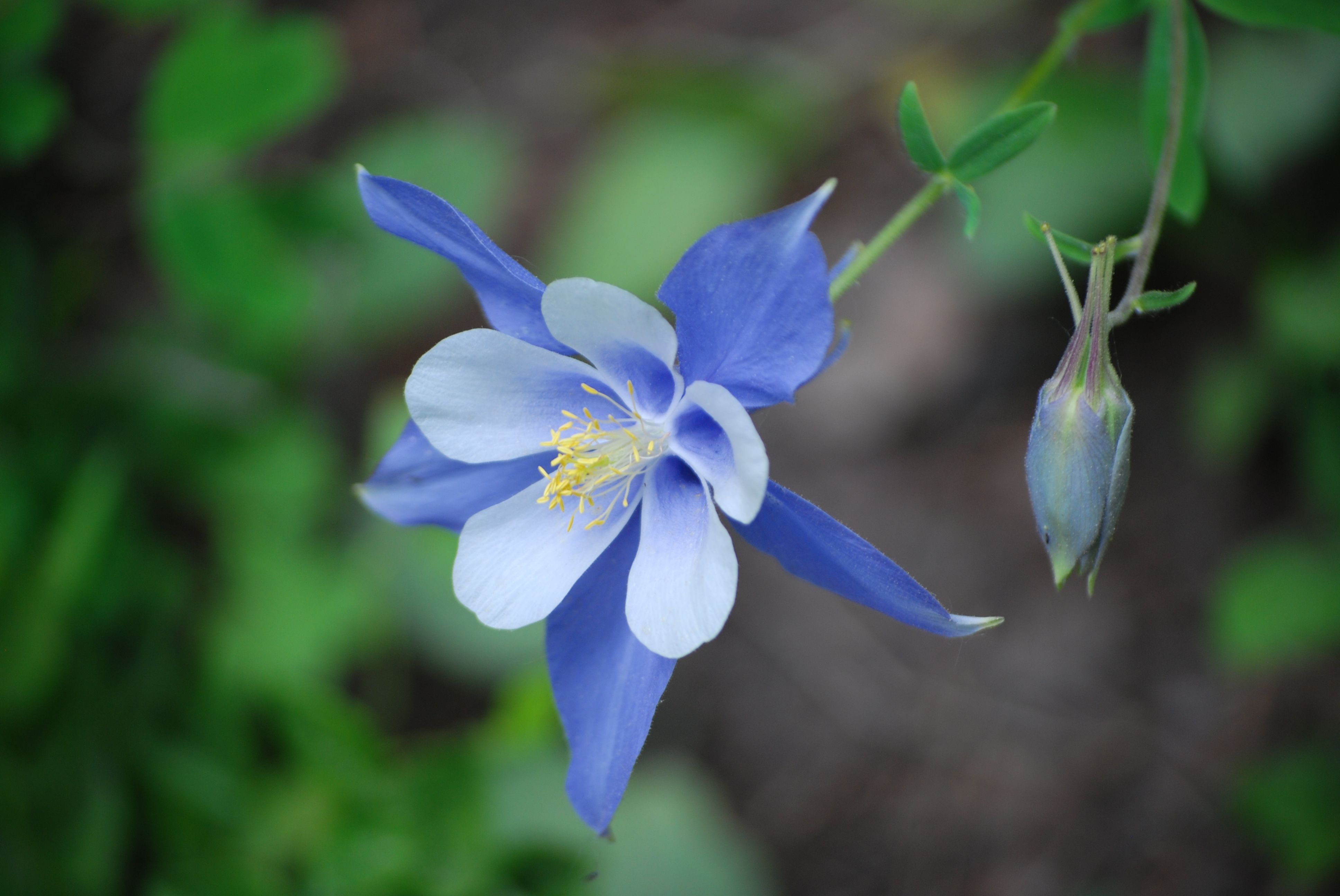 Columbine flowers in colorado steemit columbine flowers in colorado created with sketch izmirmasajfo