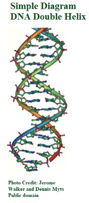 DNA2 double_helix_vertikal Jerome Walker, Dennis Myts.jpg